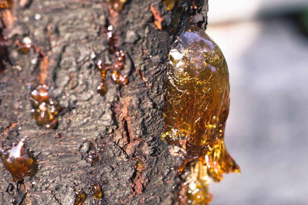 natural resin of pine tree