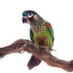 Unsafe Woods For Parrots