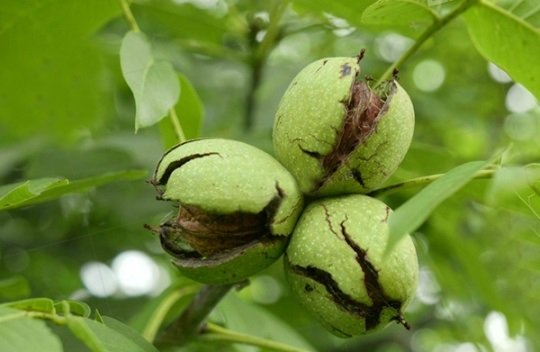 Ripened fruit of walnut