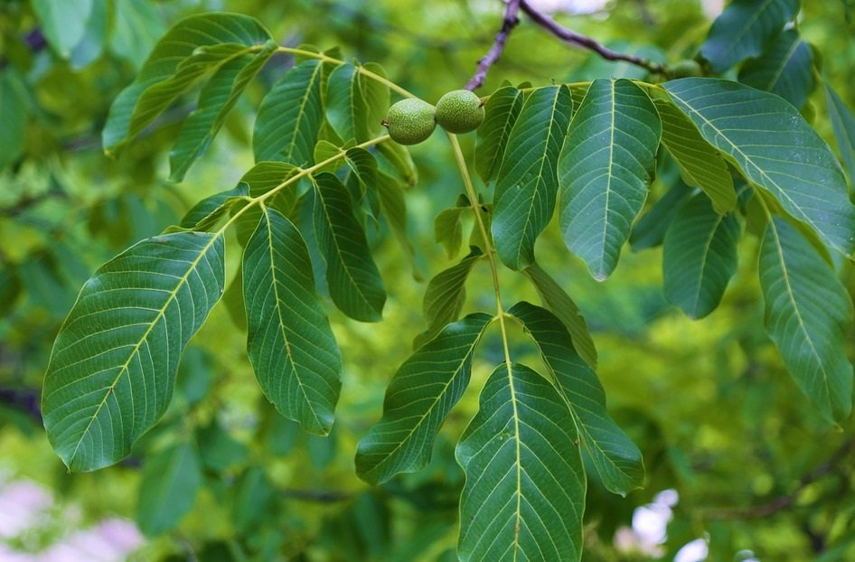 leaves of the walnut
