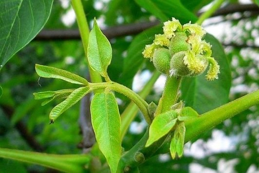 walnut_fruit_in_spring